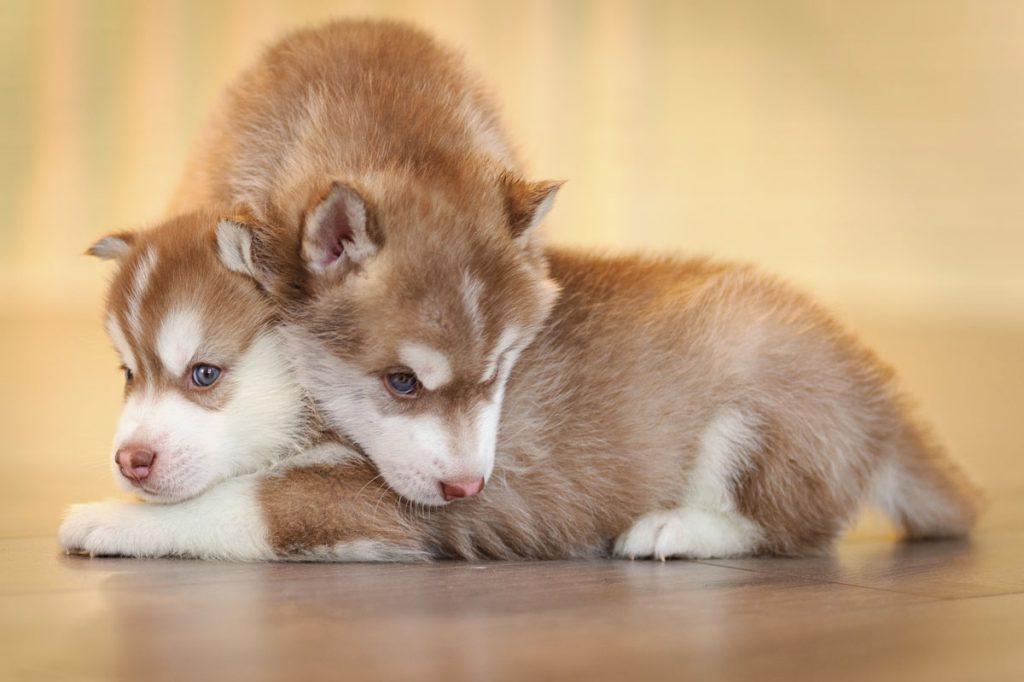 Обучение и воспитание щенка хаски