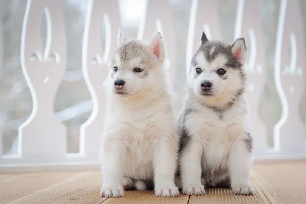 Выбор щенка Сибирский хаски